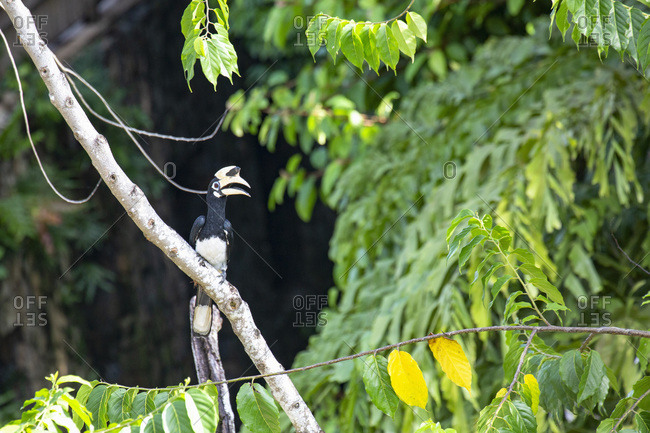 An Oriental Pied Hornbill in the Langkawi rainforest, Malaysia, Southeast Asia, Asia