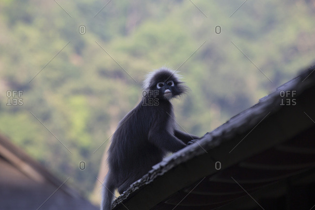 A dusky leaf monkey (spectacled langur) (dusky langur) on a rooftop at the Datai hotel in the Langkawi rainforest, Malaysia, Southeast Asia, Asia