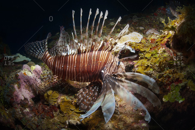 Low light image of a red lionfish (Pterois volitans), diving in Roatan, Bay Islands (Islas de la Bahia), Honduras, Central America