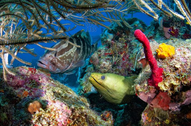 Green moray eel (Gymnothorax funebris) with Nassau grouper (Epinephelus striatus) on a colorful reef, diving at Cordelia Bank, Bay Islands (Islas de la Bahia), Honduras, Central America