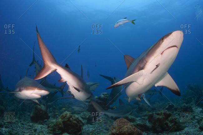 School of Caribbean reef shark (Carcharhinus perezi), scuba diving at Cordelia Bank, Roatan, Islas de la Bahia, Bay Islands (Islas de la Bahia), Honduras, Central America
