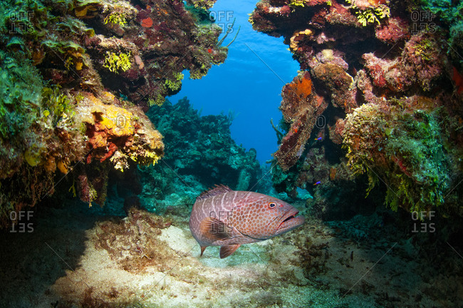 Tiger grouper (Mycteroperca tigris) swimming through coral reef, Roatan, Bay Islands (Islas de la Bahia), Honduras, Central America