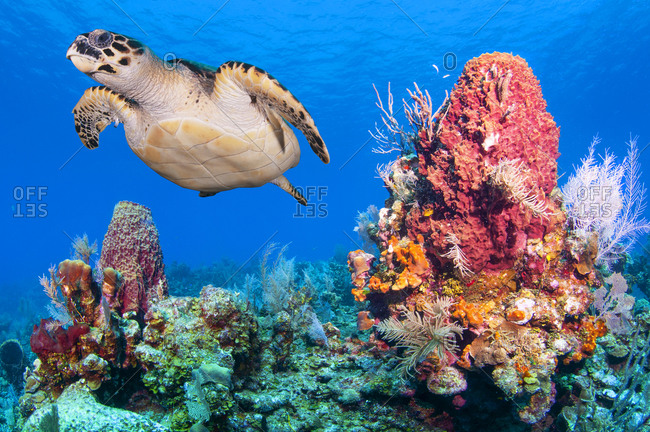 Close up photo of a Green sea turtle (Chelonia mydas) swimming next to a giant red barrel sponge (Xestospongia muta), Bay Islands (Islas de la Bahia), Honduras, Central America