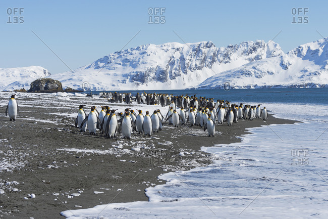 King Penguins (Aptenodytes patagonicus) preparing to enter the water, Salisbury Plain, South Georgia Island, Antarctic, Polar Regions