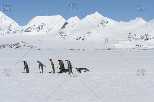 Group of King Penguins (Aptenodytes patagonicus) walking on snow covered Salisbury Plain, South Georgia Island, Antarctic, Polar Regions