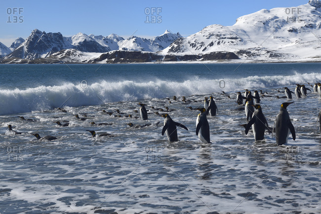 Group of King Penguins (Aptenodytes patagonicus) entering the ocean, Salisbury Plain, South Georgia Island, Antarctic, Polar Regions