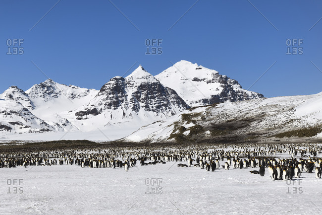King Penguin Colony (Aptenodytes patagonicus) and snow covered mountains behind, Salisbury Plain, South Georgia Island, Antarctic, Polar Regions