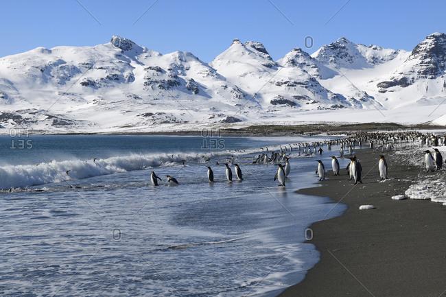 King Penguins (Aptenodytes patagonicus) coming in and out the ocean, Salisbury Plain, South Georgia Island, Antarctic, Polar Regions