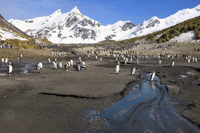 King Penguins (Aptenodytes patagonicus) crossing a stream, Right Whale Bay, South Georgia Island, Antarctic, Polar Regions