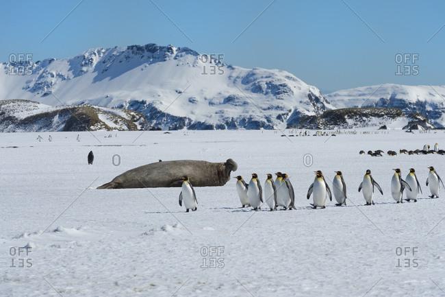 Southern Elephant seal (Mirounga leonina), King Penguins (Aptenodytes patagonicus) on snow, Salisbury Plain, South Georgia Island, Antarctic, Polar Regions