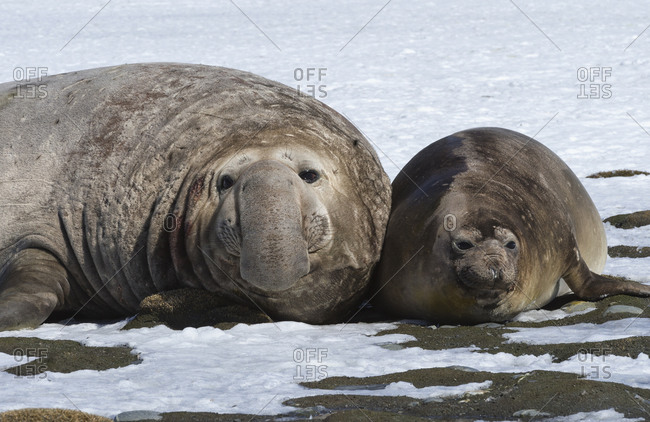 Male Southern Elephant seal (Mirounga leonina) with female on snow, Salisbury Plain, South Georgia Island, Antarctic, Polar Regions