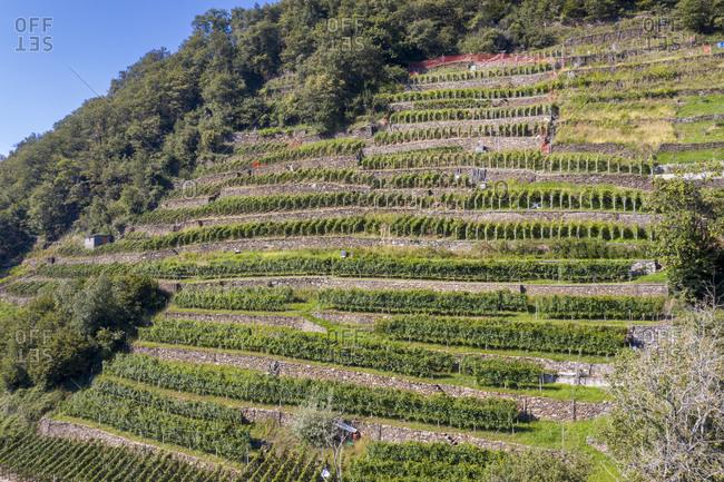 Terraced vineyards, Costiera dei Cech, Valtellina, Sondrio province, Lombardy, Italy, Europe