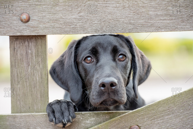 Black Labrador puppy looking through a gate, United Kingdom, Europe