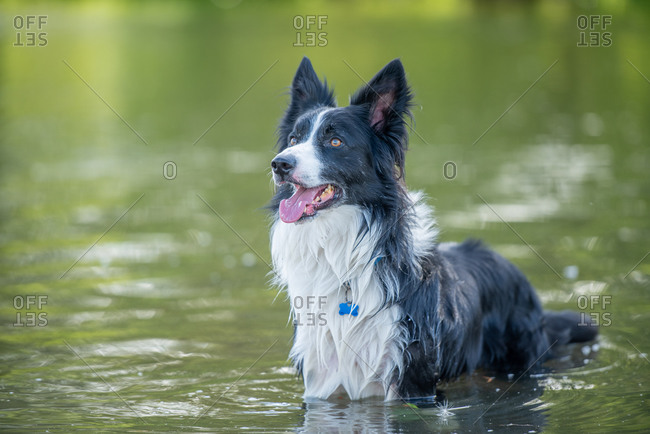 Collie standing in a river, United Kingdom, Europe