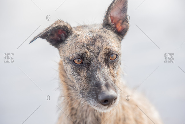 Portrait of lurcher, United Kingdom, Europe