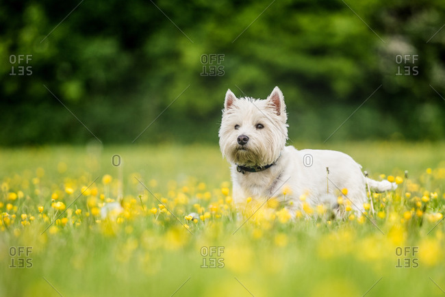 West Highland Terrier standing in a field of yellow flowers, United Kingdom, Europe