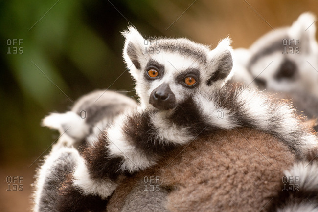 Ring-tailed lemurs in captivity, United Kingdom, Europe