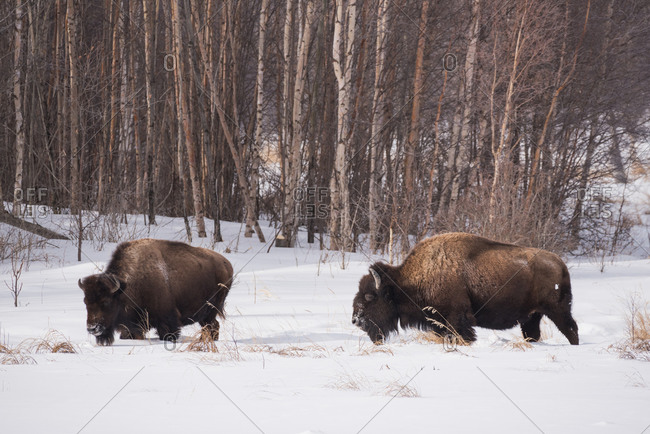 Plains bison in a winter landscape, Elk Island National Park, Alberta, Canada, North America