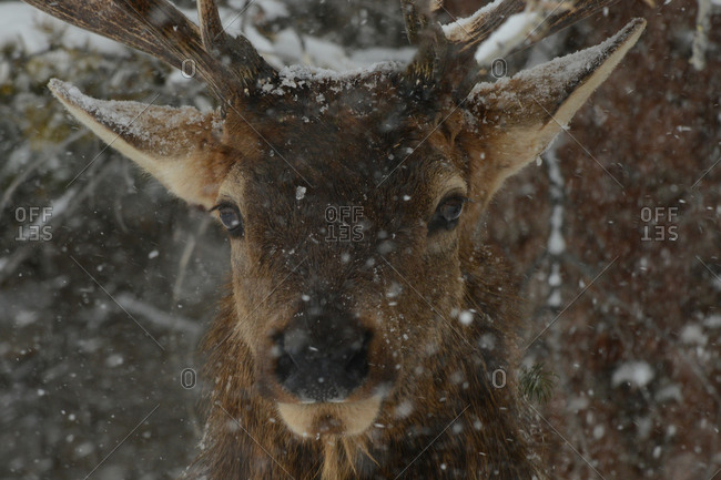 Male Elk in snow, Montana, United States of America, North America