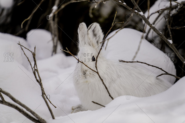 White Snowshoe Hare sitting in its snowy burrow, Denali National Park, Alaska, United States of America, North America