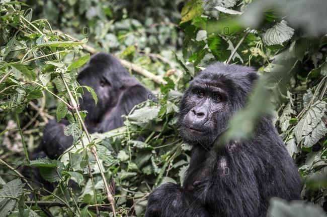 Mountain gorillas, Uganda, Africa - Offset