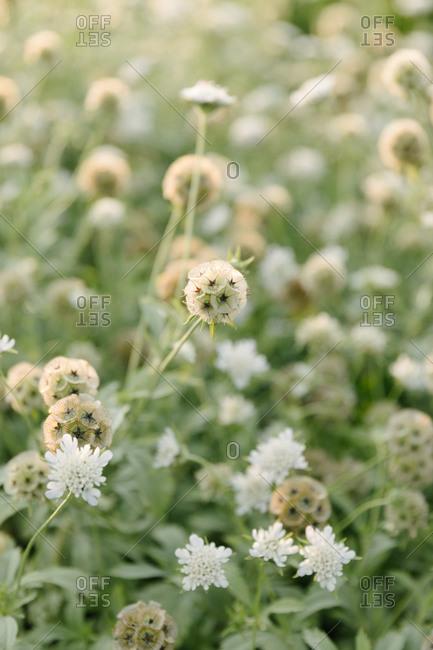 White Scabiosa flowers in a field