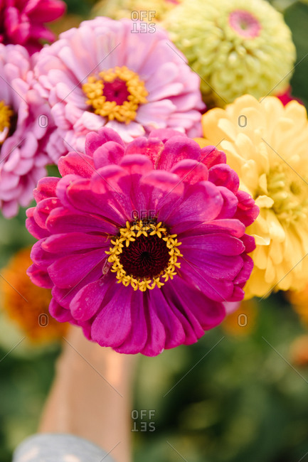 Bouquet of colorful Zinnias flowers in a field