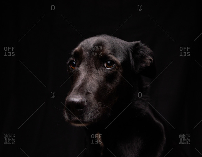 Black Labrador dog with brown eyes on a black background