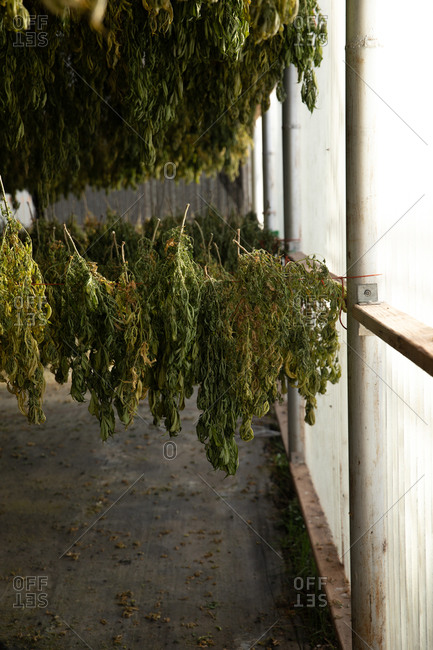 Hemp plants grown for CBD in a greenhouse hanging to dry the traditional way