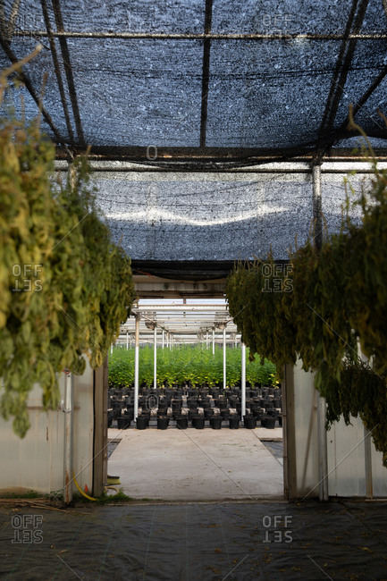 Hemp plants in a greenhouse grown for CBD hanging to dry