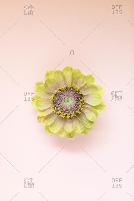 Zinnia flower close up on a light pink background