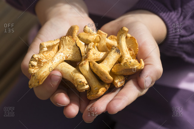 Germany- Bavaria- hands with chanterelles