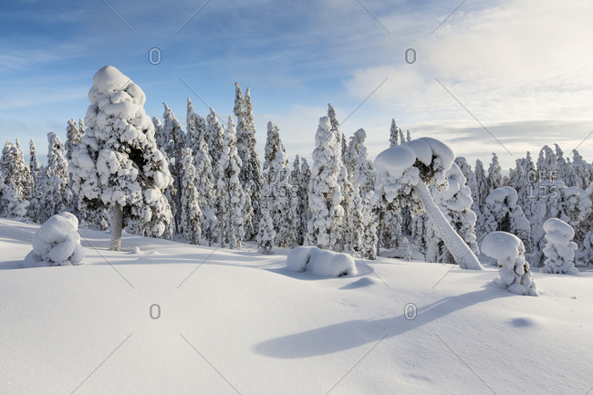 Scandinavia- Finland- Rovaniemi- Forest- Trees in wintertime against the sun