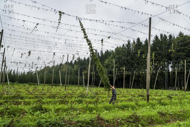 Germany- Bavaria- Attenhofen- hop harvest
