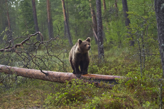 Finland- brown bear- Ursus arctos- standing on tree trunk