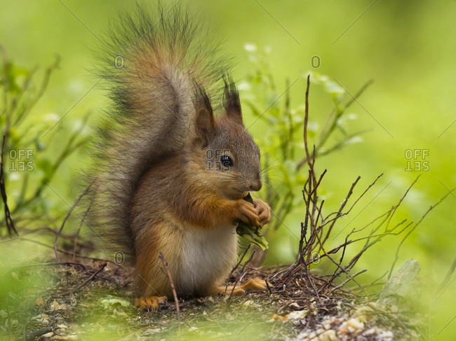 Finland- Red squirrel- Sciurus vulgaris- eating