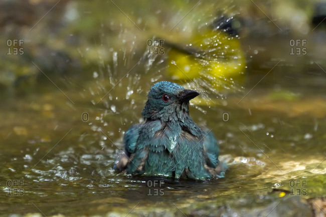 Thailand- Kaeng Krachan- bathing Asian fairy-bluebird
