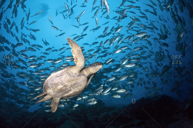 Costa Rica- Cocos Island- Green Sea Turtle swimming in between school of bigeye trevallies