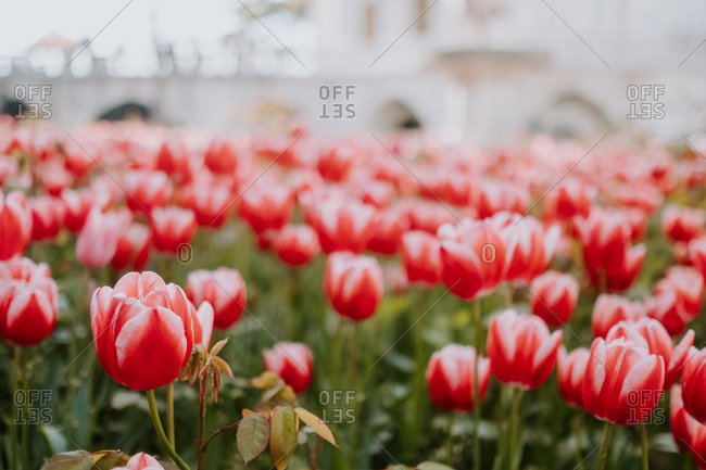 Wonderful scenery of colorful large lawn of red tulips growing on city flower bed in Istanbul on hot sunny summer day