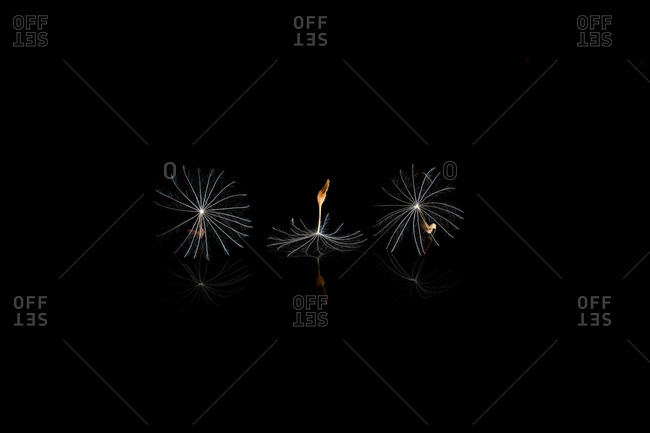 Minimalist composition of spores of dandelion placed in row on mirror on black background