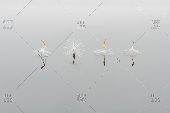 Closeup of lightweight pappus of dandelion placed in row on white background