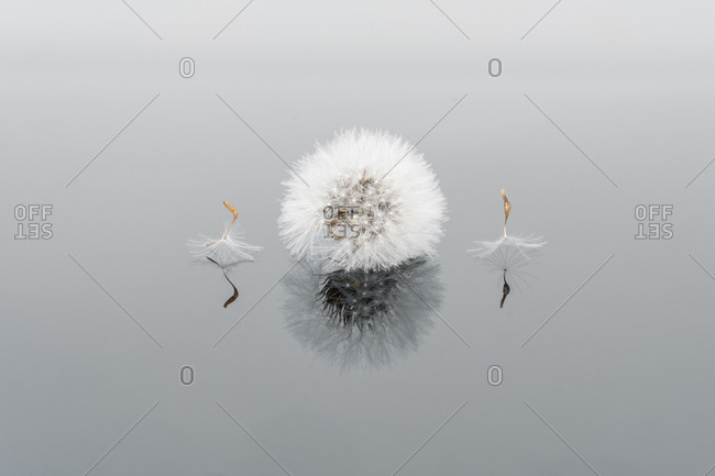Closeup of dandelion bulb in soft cold light with reflection on mirror background