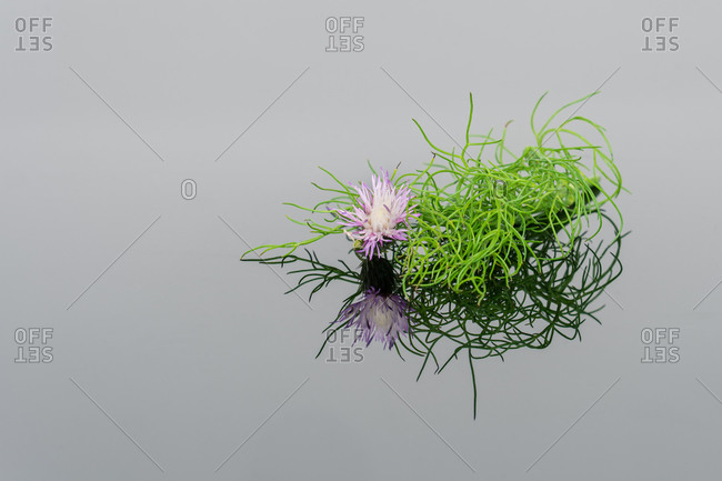 From above of fresh green plants with violet flower on reflective gray background