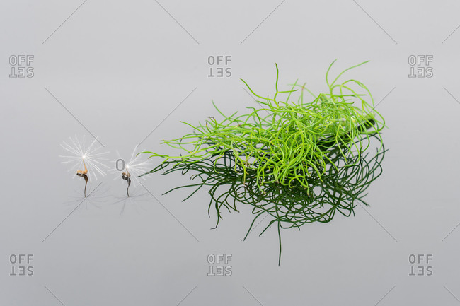 Closeup of lightweight pappus of dandelion placed with fresh green plants on reflective gray background