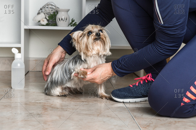 Crop anonymous female owner in sportswear sitting on floor and pouring antiseptic from bottle on soft napkin to clean legs of obedient Yorkshire Terrier