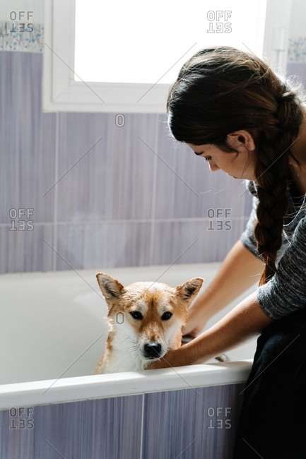 Faceless female woman in casual clothes watering cute Shiba Inu from shower while obedient dog standing in bathtub during bathing at home
