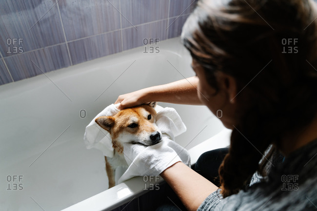 From above of crop owner wiping with white bath towel decent Shiba Inu after washing while dog standing in bathtub at home and sadly looking away