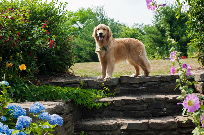 Golden retriever standing on top of stone steps among flowers