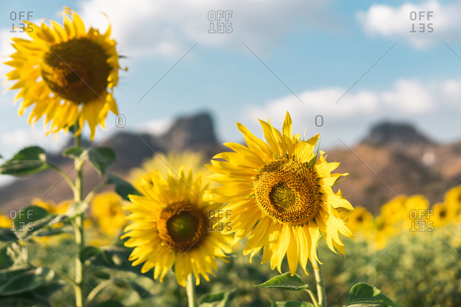 Picturesque landscape of yellow beautiful sunflower and green grass growing on hill in sunflowers field against cloudy blue sky on summer warm day