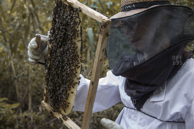 Beekeeper holding frame of honeycombs with bees